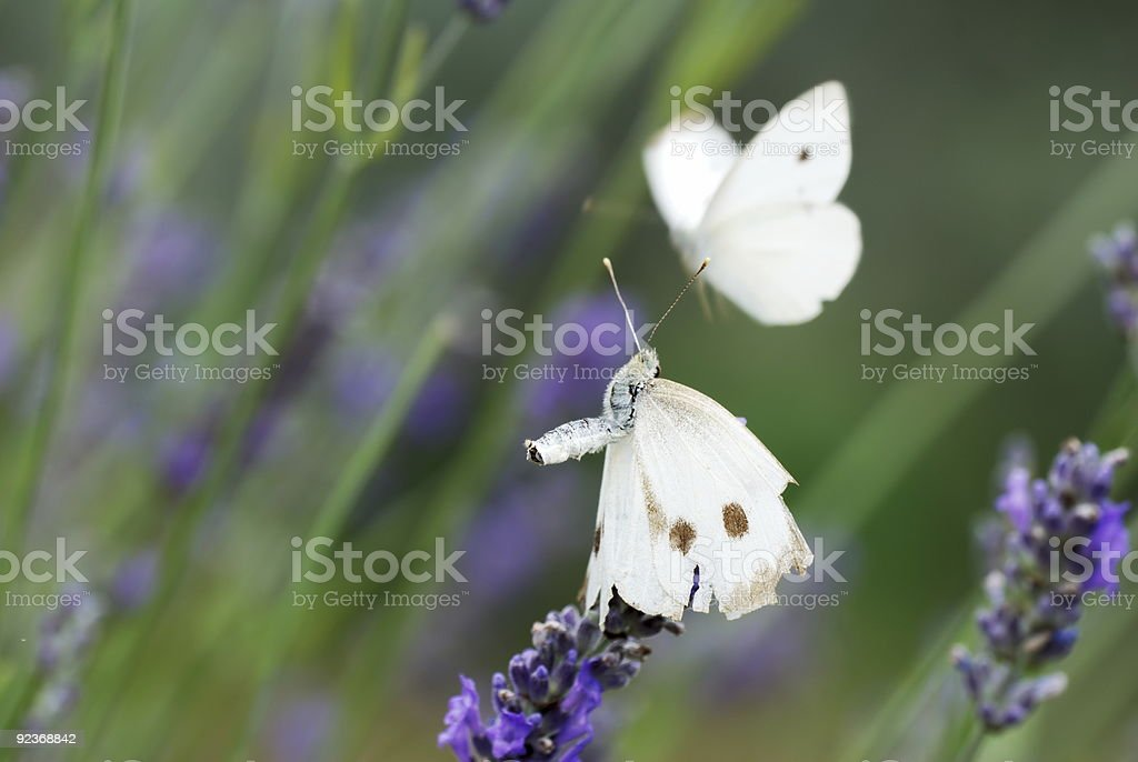 Two white butterflyes on lavender flowers stock photo