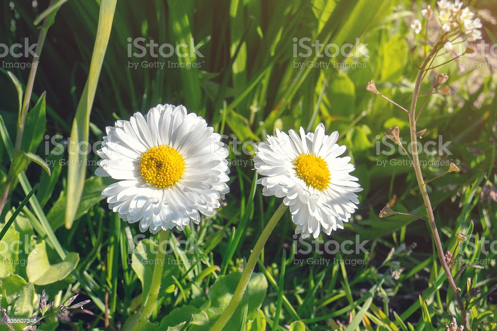 Two white chamomiles on green grass background foto de stock royalty-free