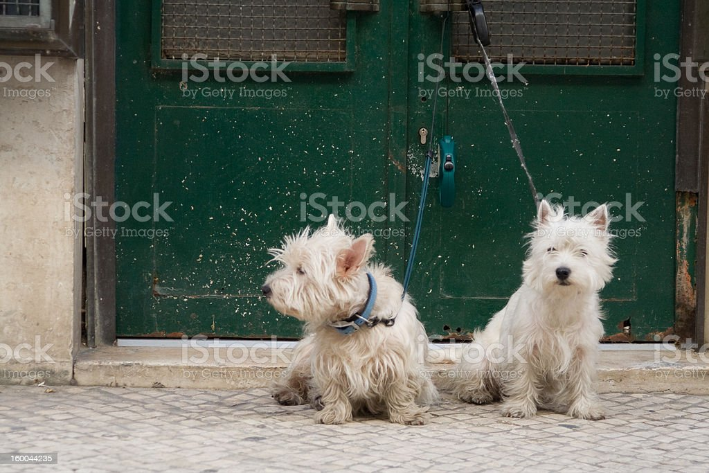 two white dogs stock photo