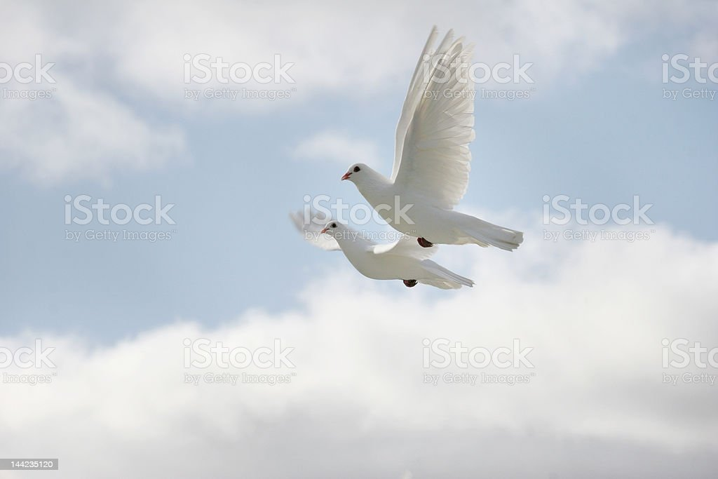 Two white doves flying royalty-free stock photo
