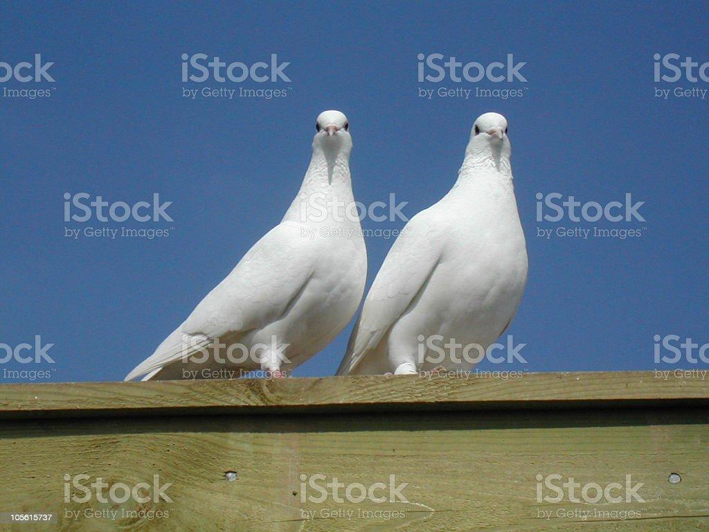 Two white doves royalty-free stock photo