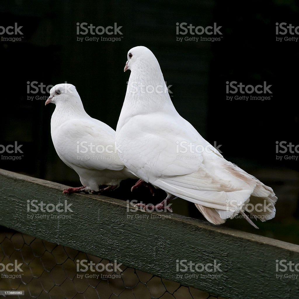 Two white doves stock photo