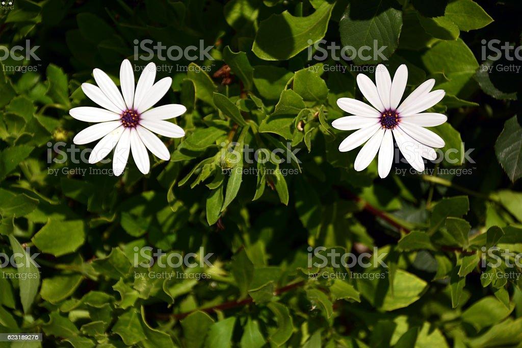 Two white flowers stock photo