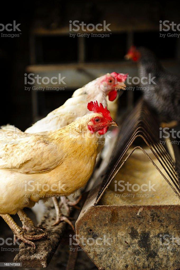 Two White Hens royalty-free stock photo