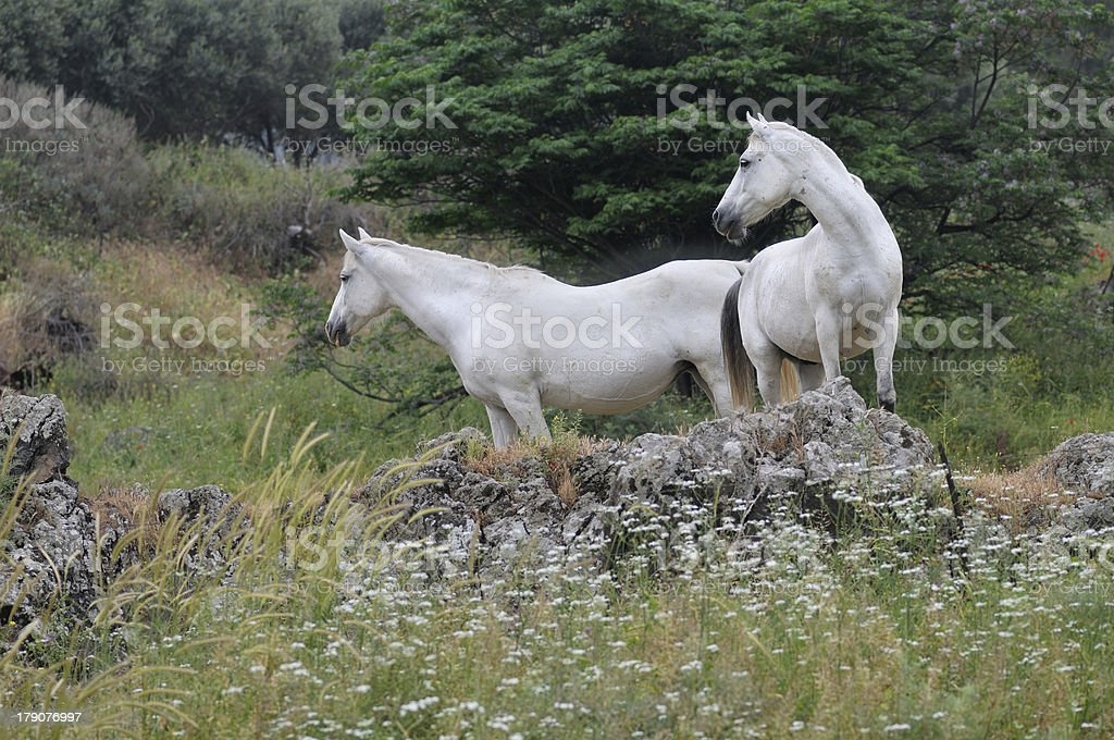 Two white horses at the field royalty-free stock photo