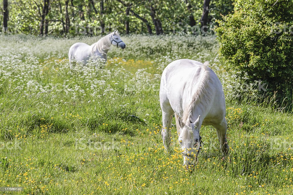 Two white horses on green pasture royalty-free stock photo