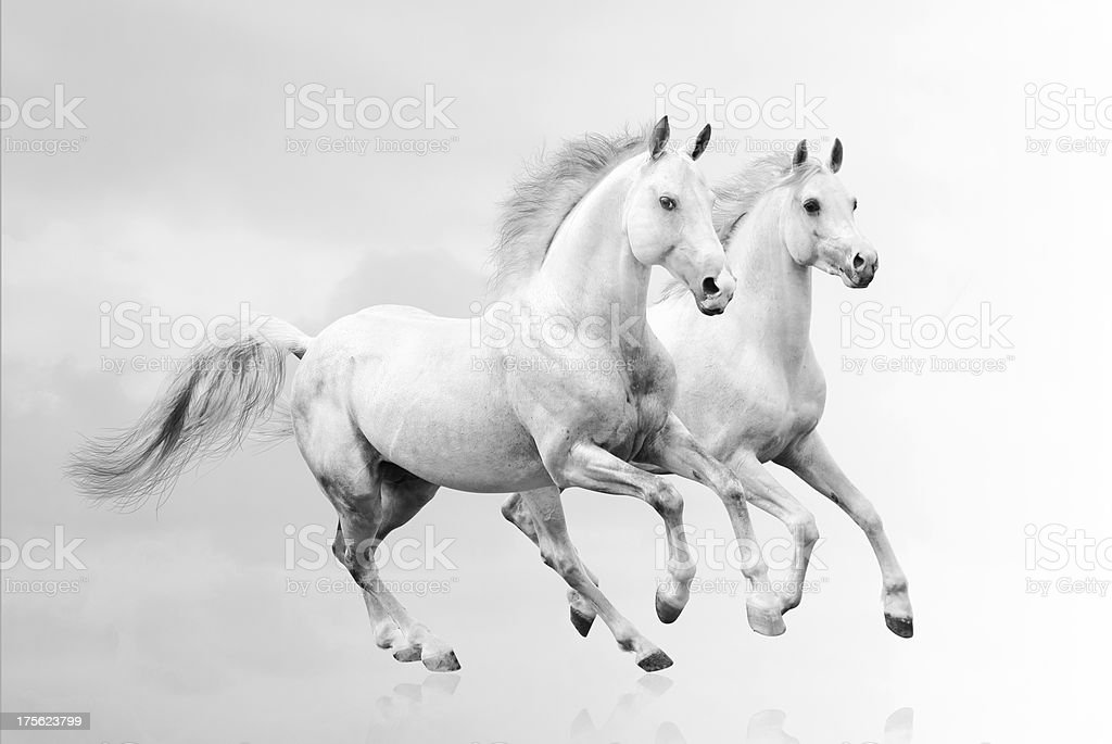 Two white horses running together stock photo
