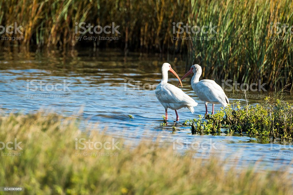 Two White Ibis Wading In Salt Marsh stock photo