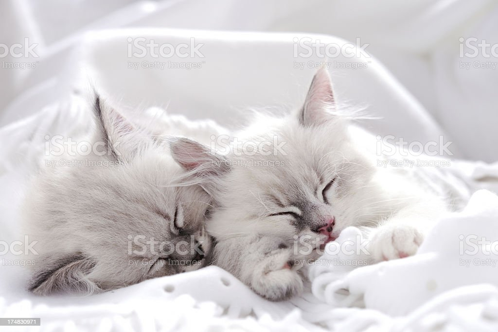 Two white kitten sleeping together royalty-free stock photo