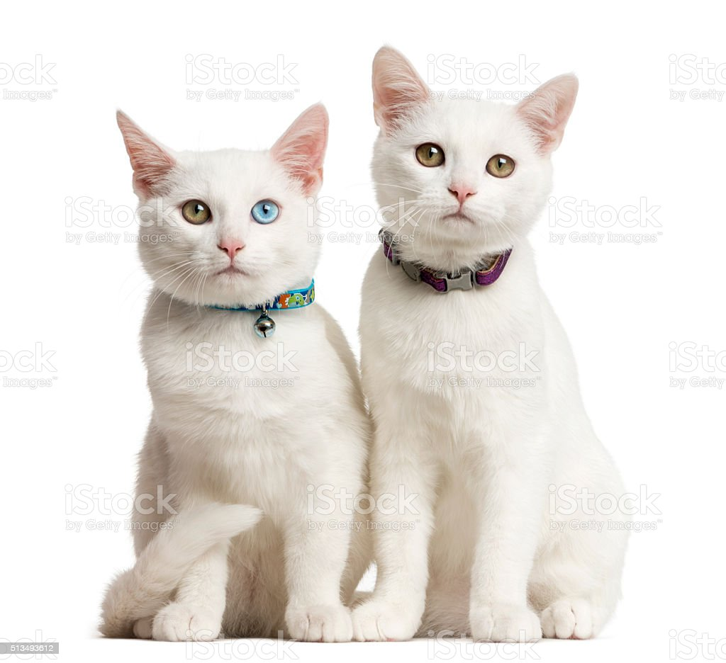 Two White kittens siting in front of a white background stock photo