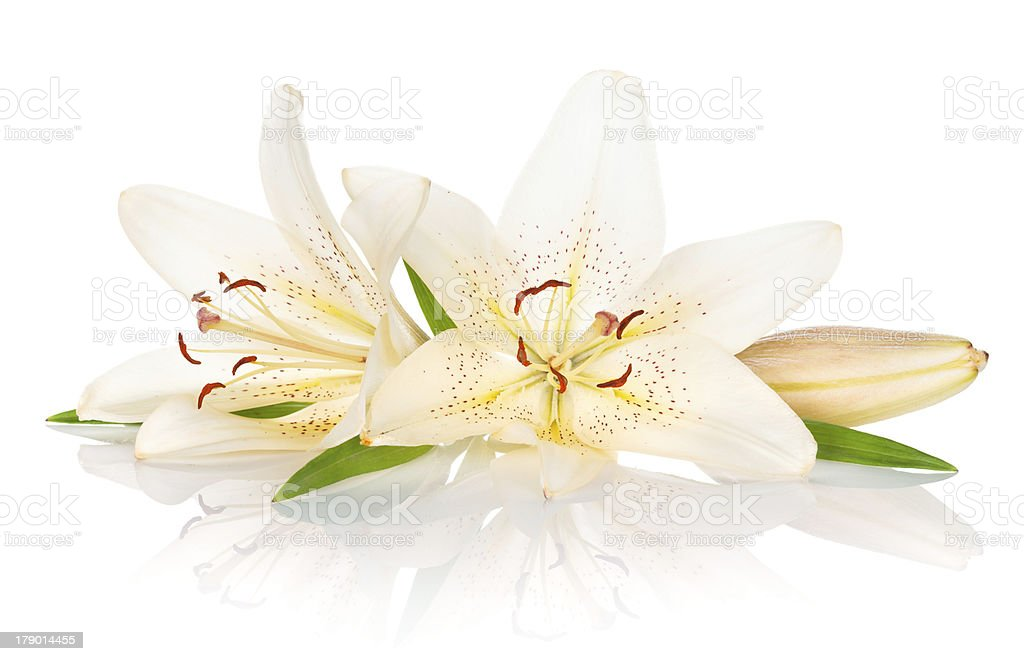 Two white lily flowers stock photo