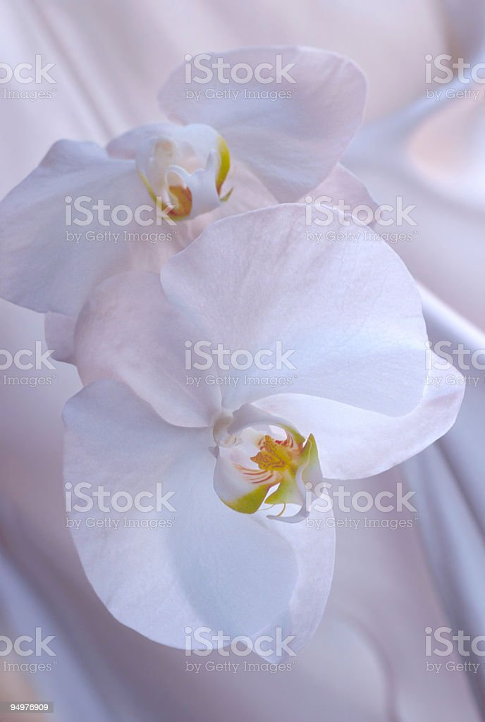 Two White Orchids on Satin royalty-free stock photo