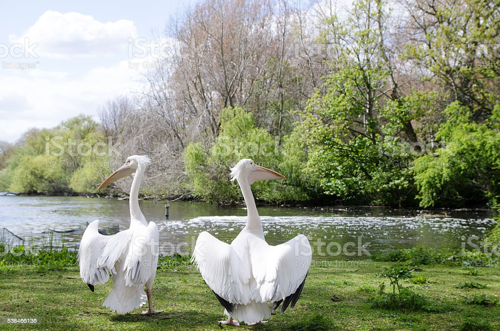 Two white pelicans in St James's Park stock photo