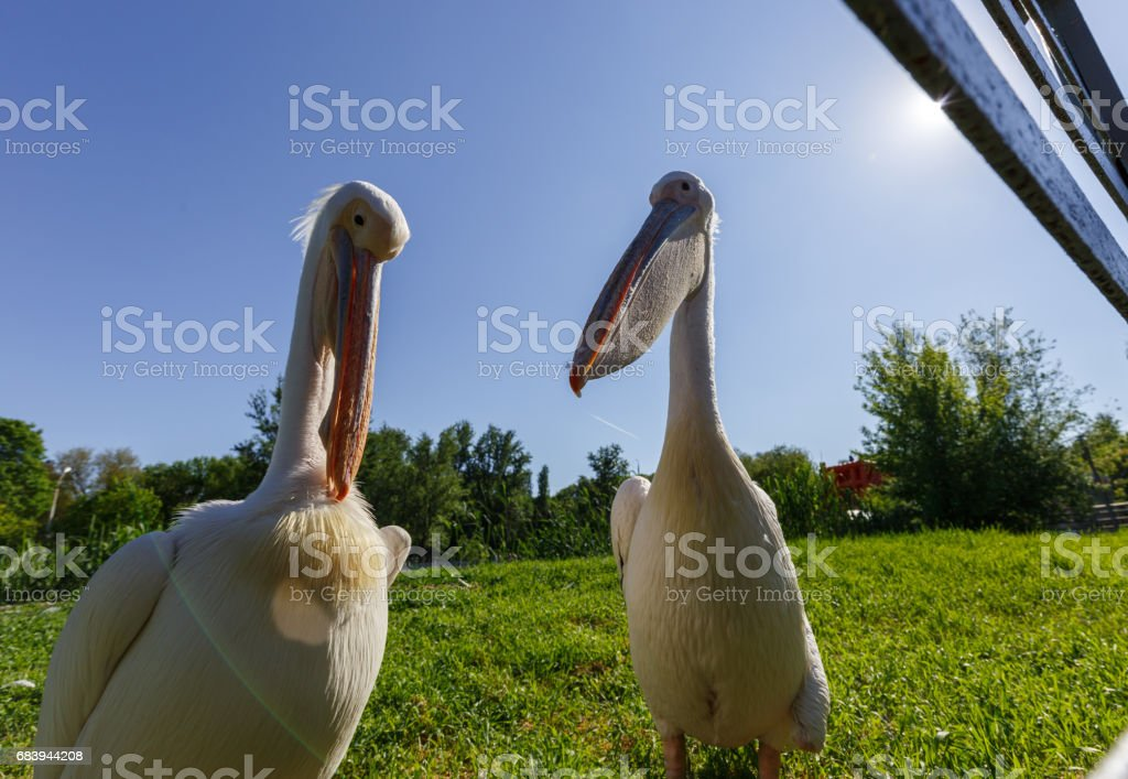 Two white Pelicans in the city zoo, wide angle photo. stock photo