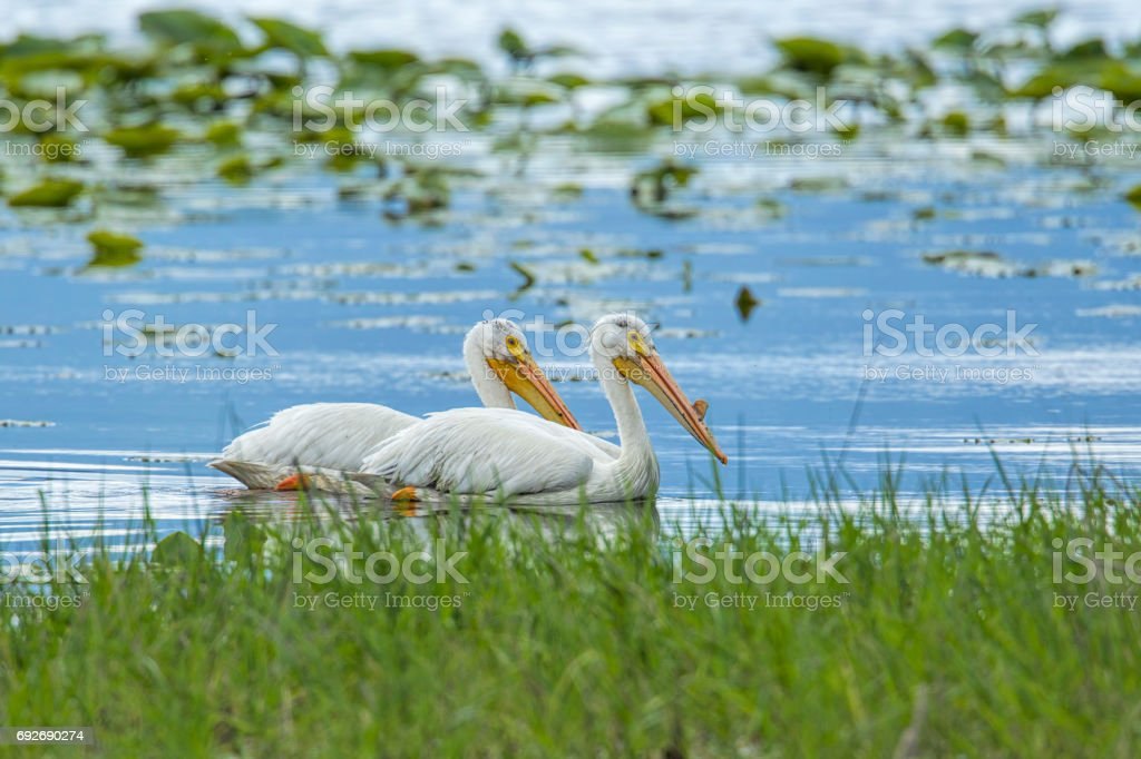 Two white pelicans swimming. stock photo