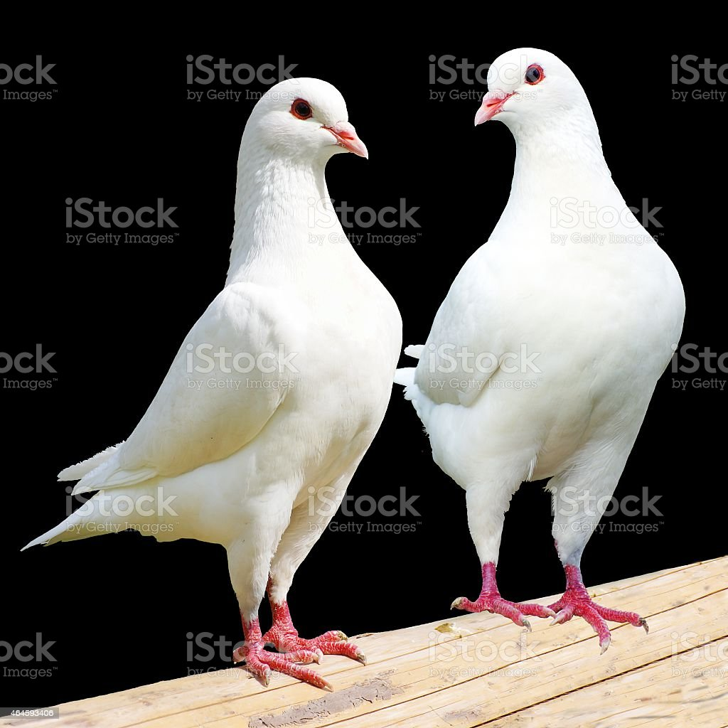 Two white pigeon isolated on black background stock photo