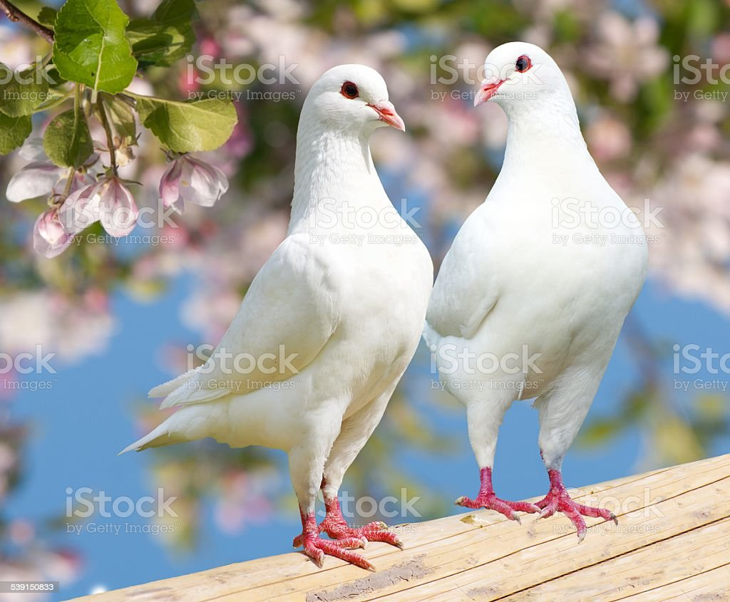 Two white pigeon on flowering background stock photo