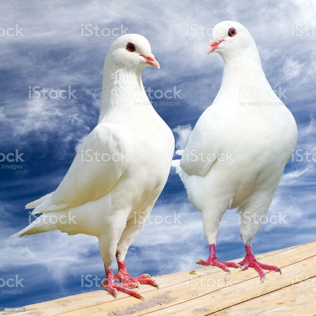 Two white pigeon on perch with cloudy sky stock photo