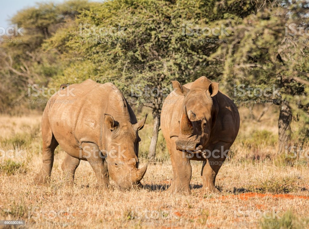 Two White Rhino stock photo