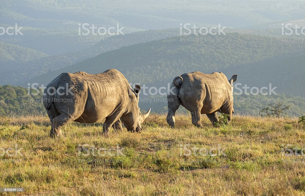 Two White Rhinos walking off into the rising sun stock photo