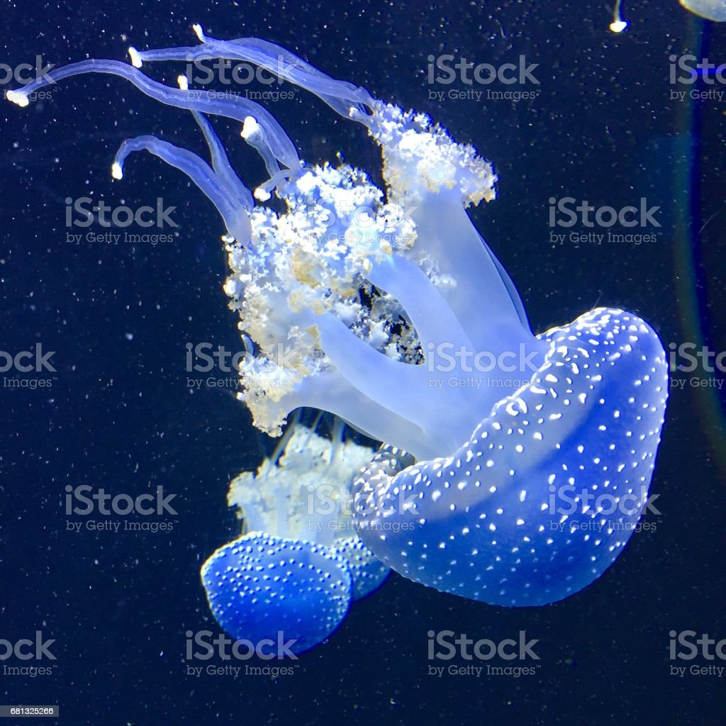 Two White Spotted Jellyfish or Phyllorhiza Punctata stock photo