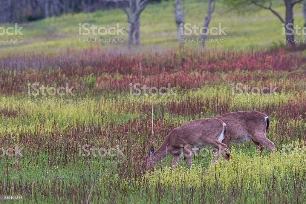 Two White Tailed Deer Feed on Grass stock photo