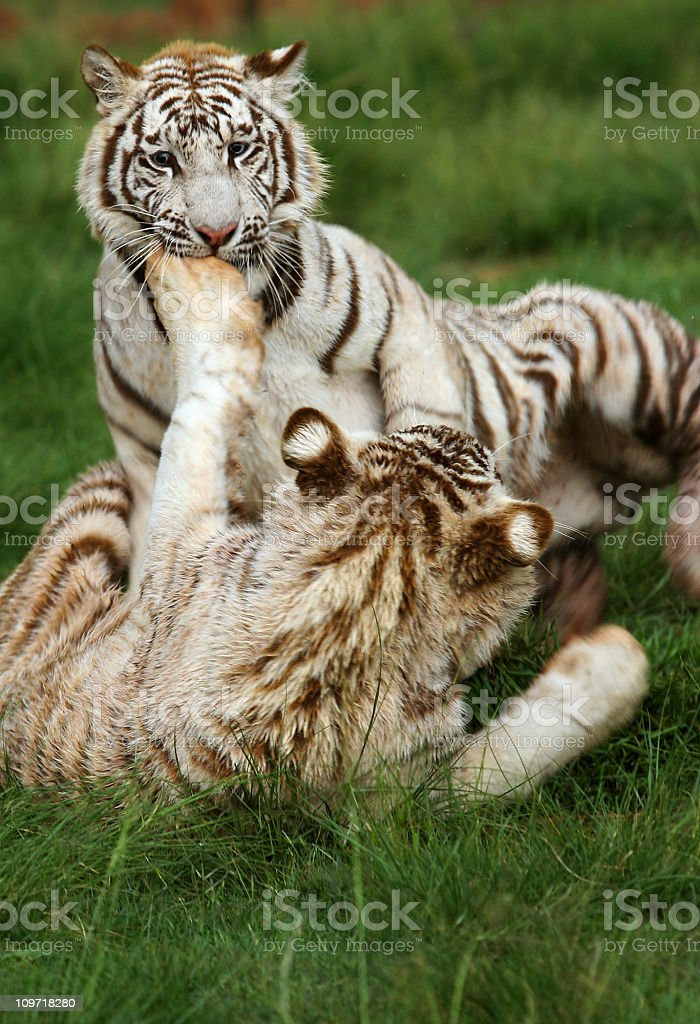 Two White Tigers Play Fighting royalty-free stock photo
