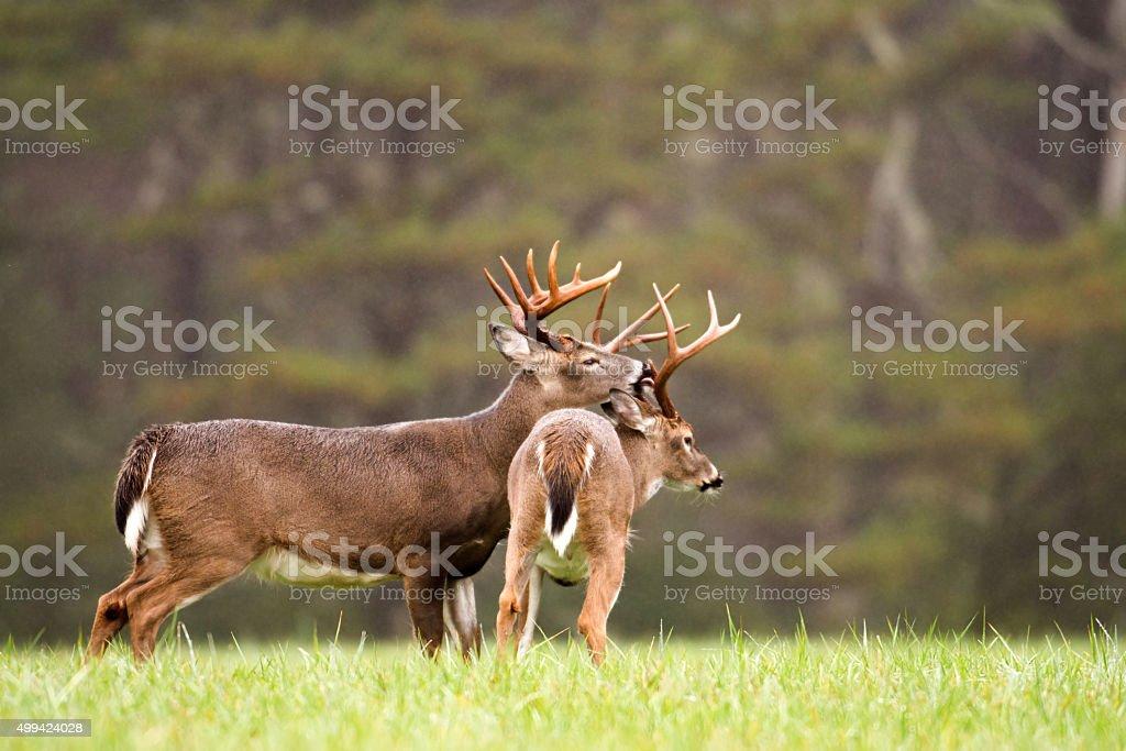 two white-tailed deer bucks grooming stock photo