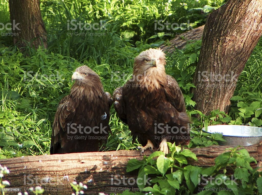 Two white-tailed eagles are sitting on a log royalty-free stock photo