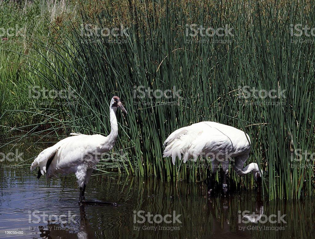 Two Whooping Cranes royalty-free stock photo