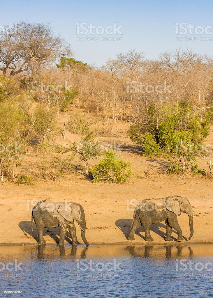 two wild african elephants drinking in the riverbank stock photo