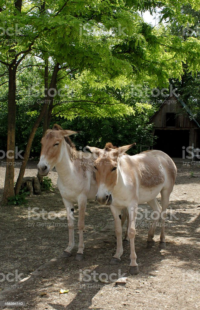 Two Wild Asses grazing stock photo