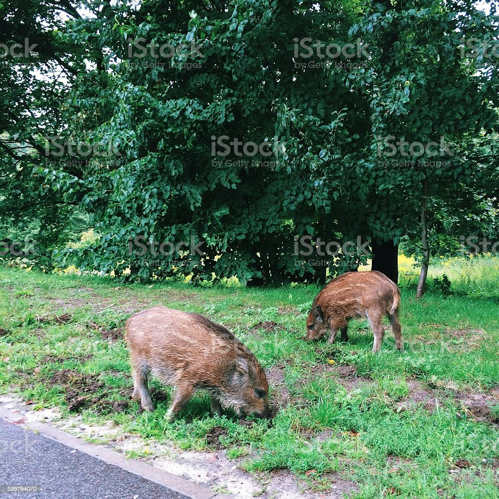 Two wild baby boars digging the ground stock photo
