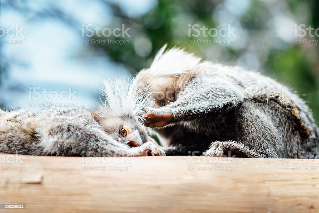 two wild brazilian marmoset monkey delousing eachother stock photo
