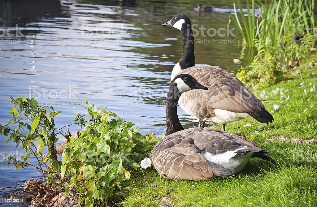 Two wild Canada goose on the lake coast royalty-free stock photo
