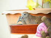 Two Wild Cute Zebra Dove Relaxing Side By Side
