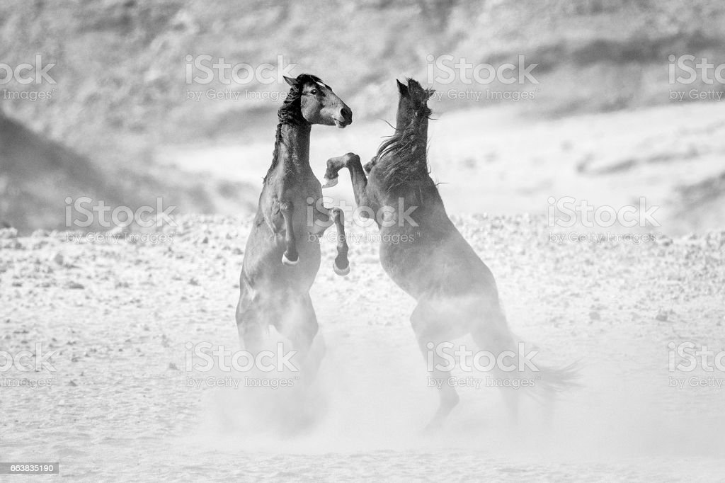 Two wild desert horses fighting stock photo