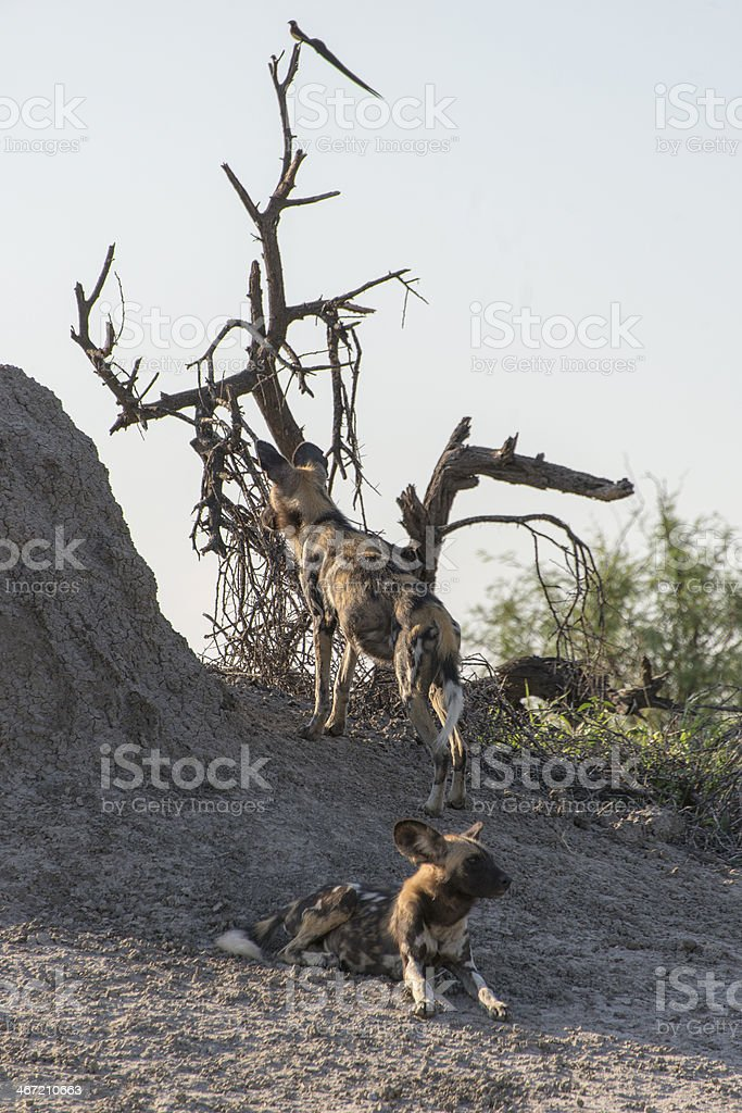 Two Wild Dogs royalty-free stock photo