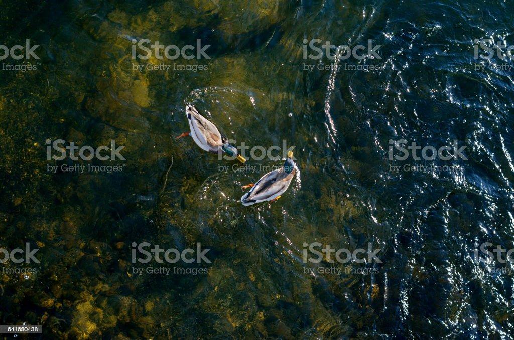 Two wild ducks floating on shallow lake stock photo