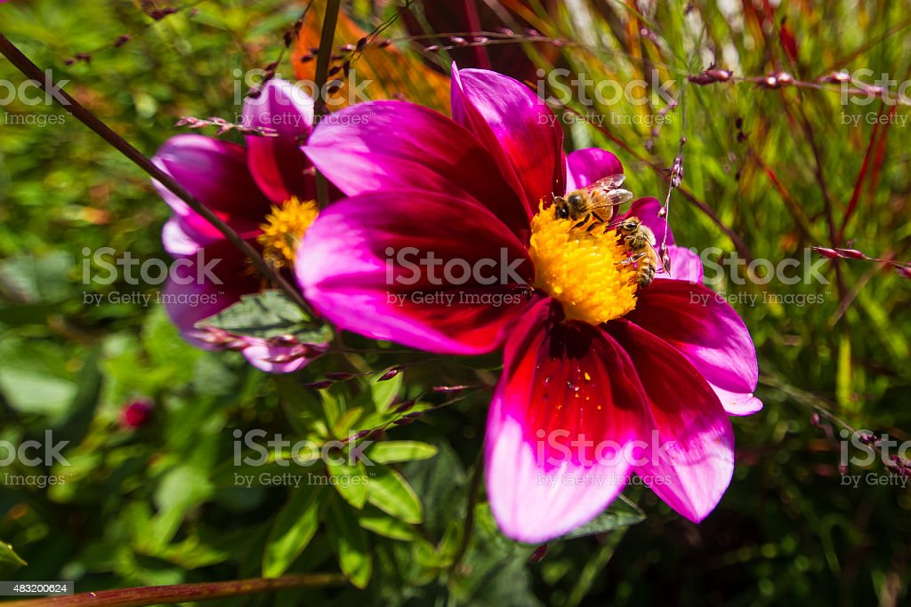 Two Wild Honeybees Feed on Flower Pollen royalty-free stock photo