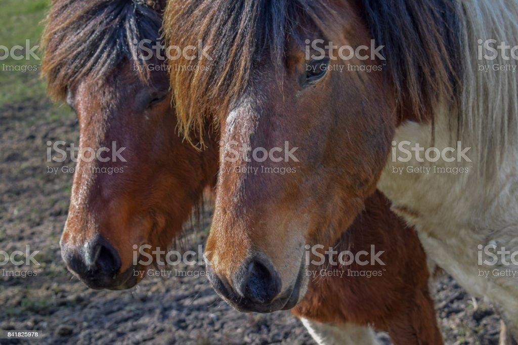 Two wild horses close-up stock photo