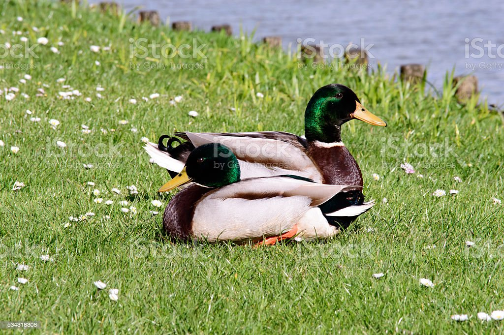 Two wild mallard ducks resting in the sun stock photo
