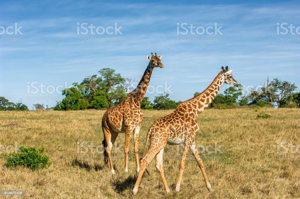 Two Wild Masai Giraffe on the Plains stock photo
