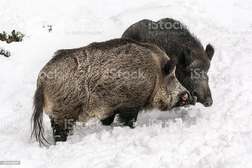 Two wild pigs - boar and sow stock photo