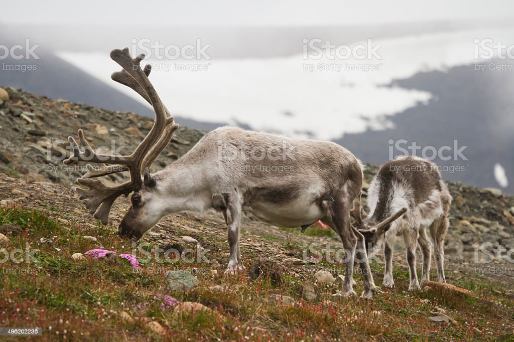 Two Wild Reindeer Eating Grass and Flowers stock photo