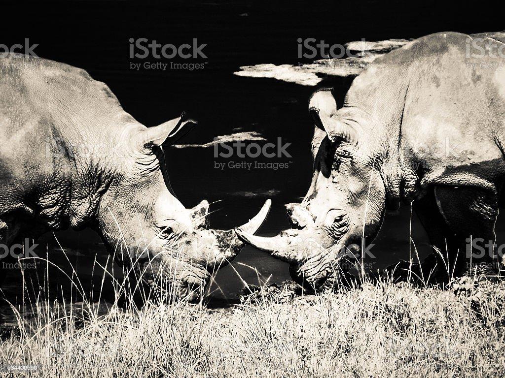 Two Wild Rhinoceros Black White South Africa CITES stock photo