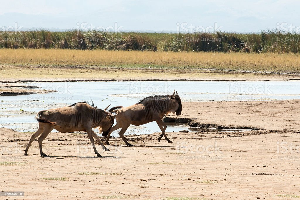 Two wildebeests running chasing and fighting along Lake Manyara Tanzania stock photo
