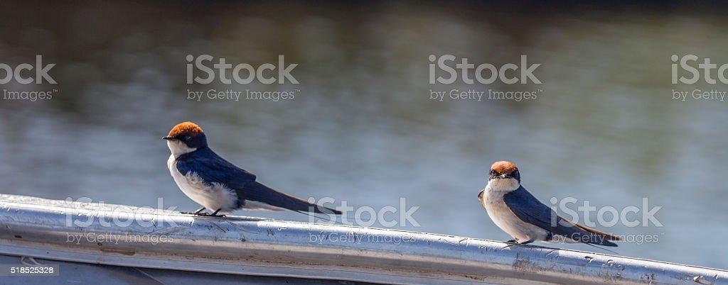 Two wire-tailed Swallows, Hirundo smithii; Chobe N.P., Botswana, Africa stock photo