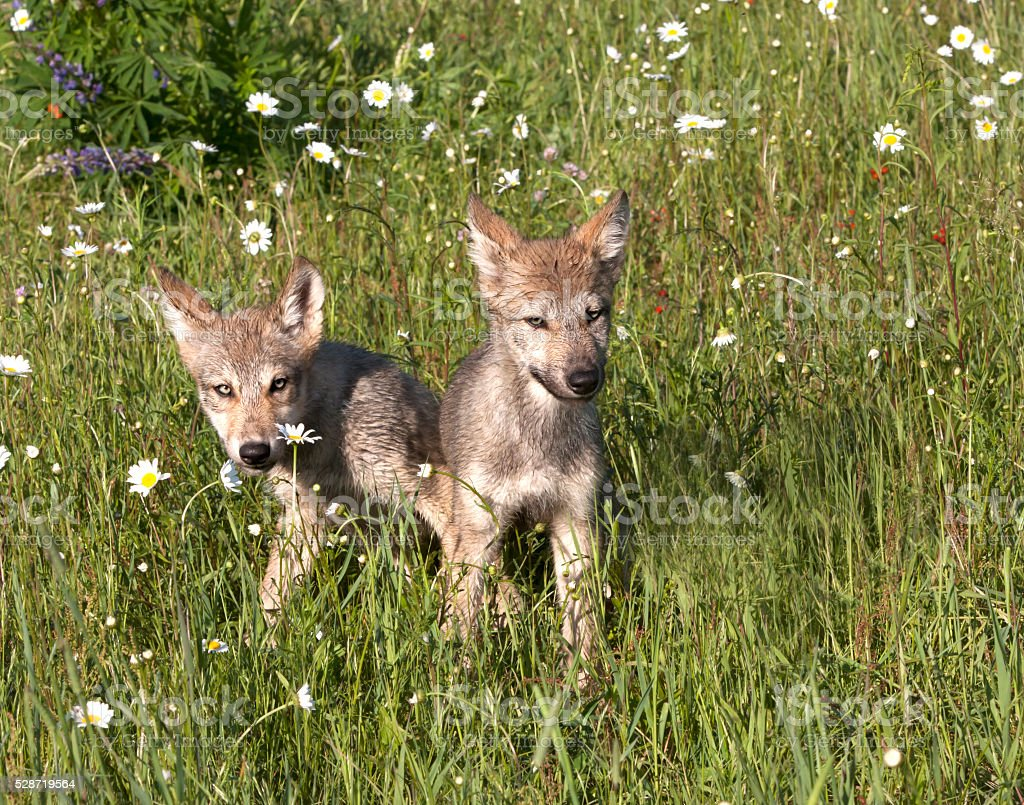 Two Wolf Puppies Playing in Wildflowers stock photo