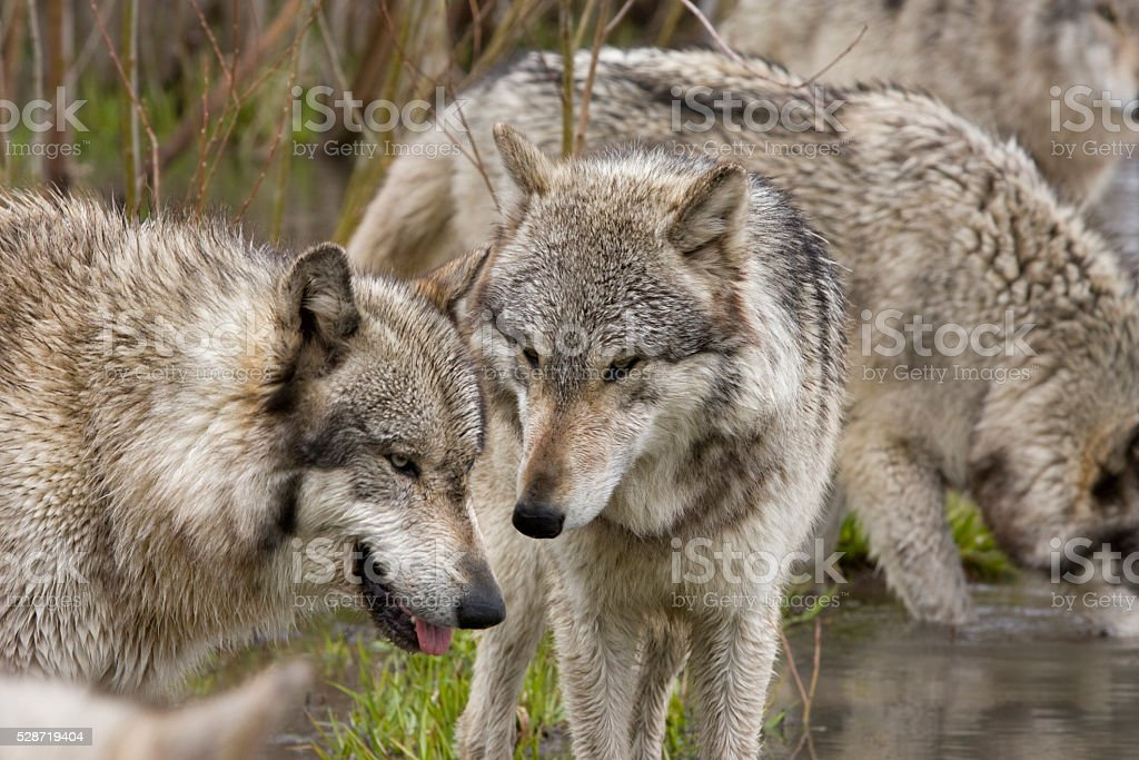 Two Wolves from a Pack stock photo